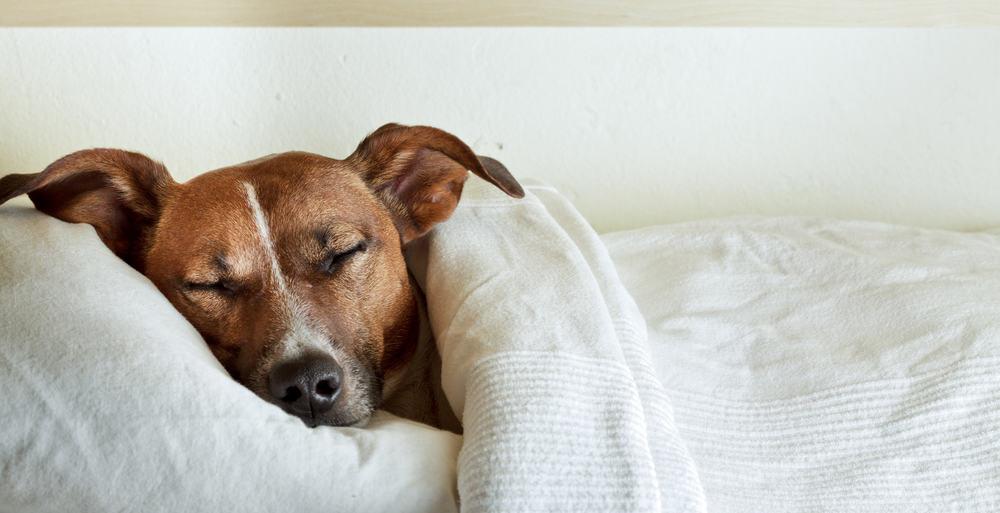 San Diego Mattress Store - Dog Bed